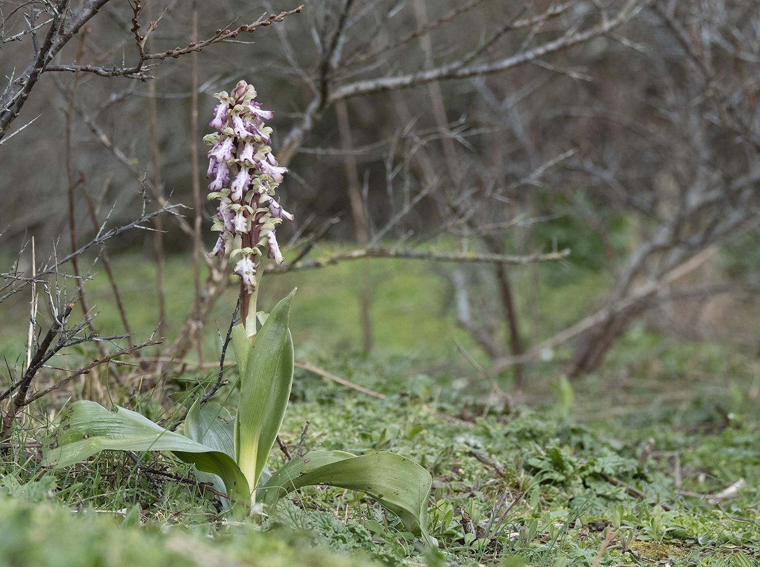 Himantoglossum robertianum 1.jpg