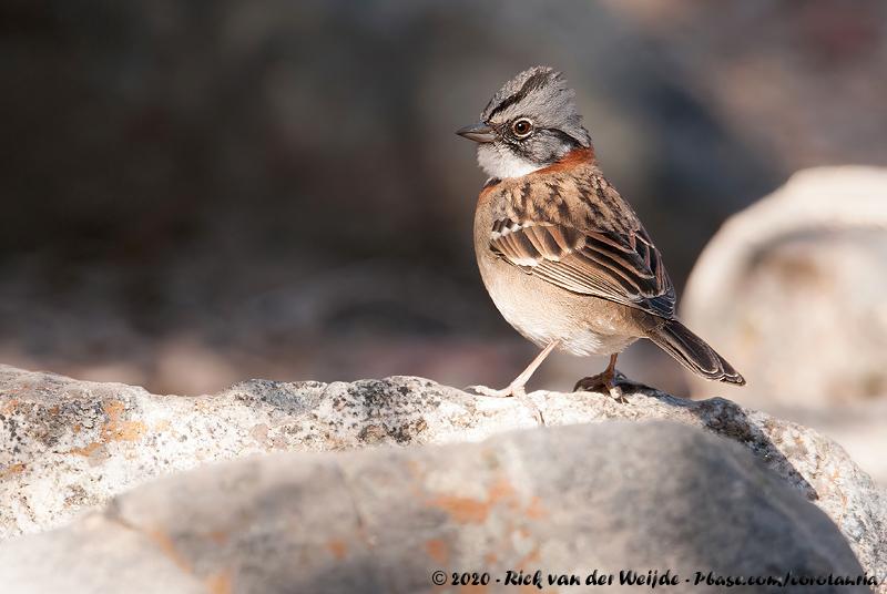 Rufous-Collared Sparrow<br><i>Zonotrichia capensis chilensis</i>