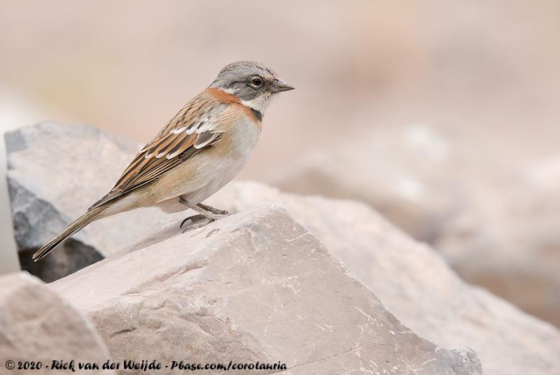 Rufous-Collared Sparrow<br><i>Zonotrichia capensis australis</i>