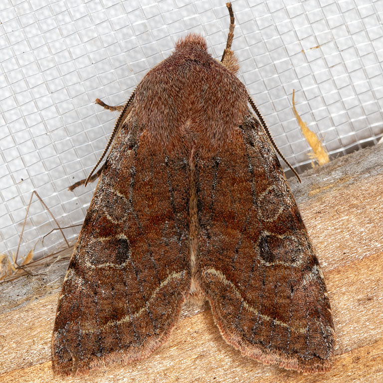 10495 Speckled Green Fruitworm Moth (Orthosia hibisci)
