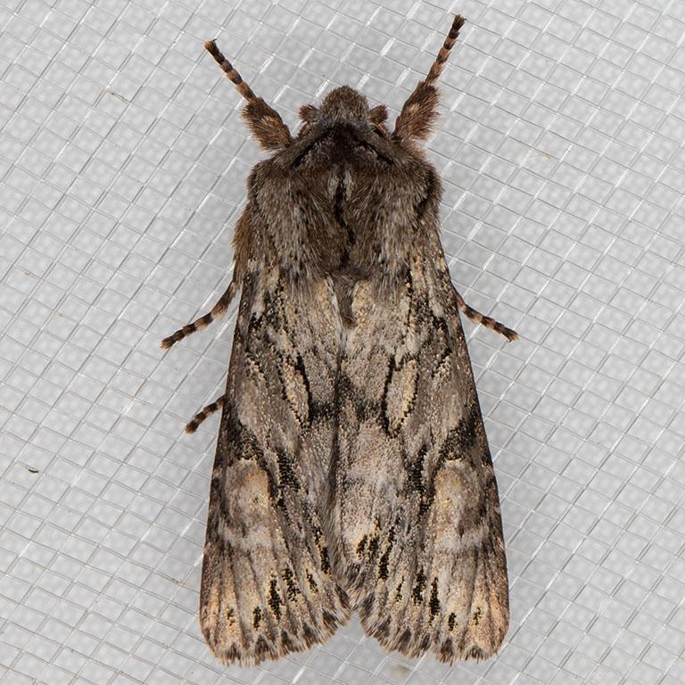 10506 (Egira simplex)