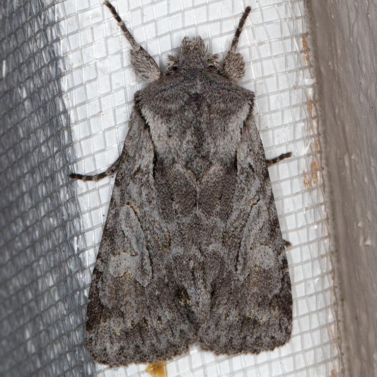 10423 (Lacinipolia patalis)