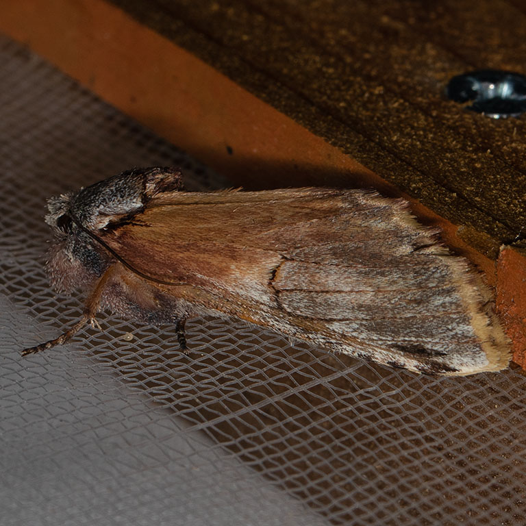8014  Pale Prominent (Oligocentria pallida)