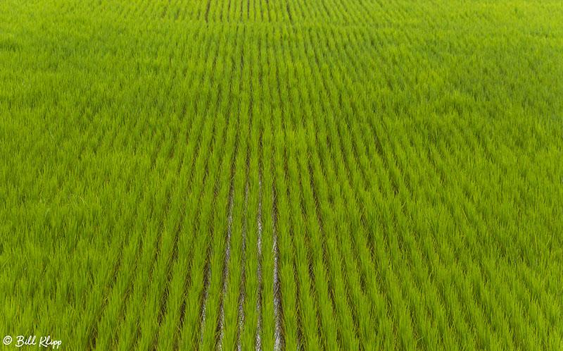 Rice Fields, Saha  8