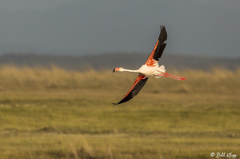 Greater Flamingo, Amboseli Ntl Park  2