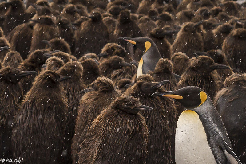 King Penguins, Gold Harbour  1
