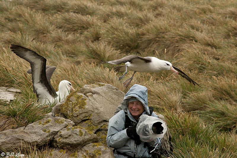 Black-browed Albatross, West Point Islands  41