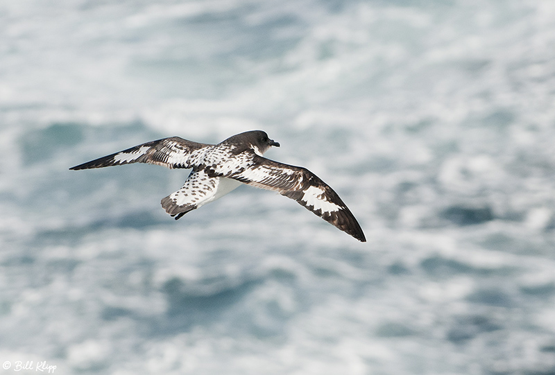 Cape Petrel, Scotia Sea  1