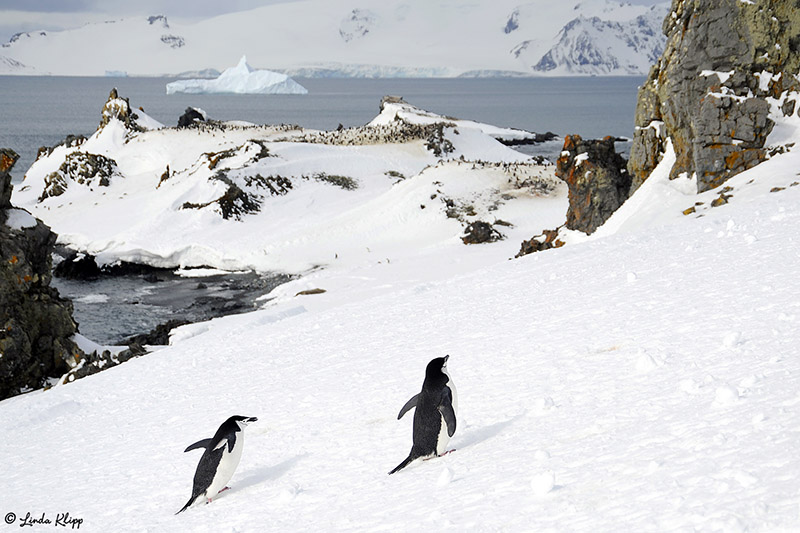 Chin Strap Penguins, Half Moon Island  9