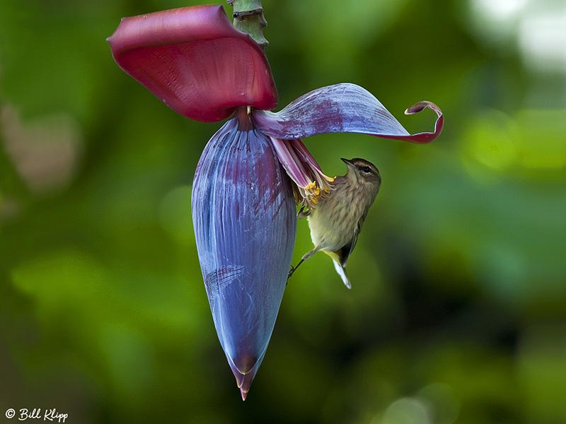 Palm Warbler on Banana Flower