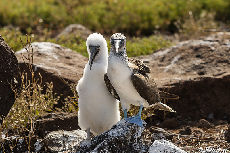 Blue Footed-Booby, North Seymour Island  6