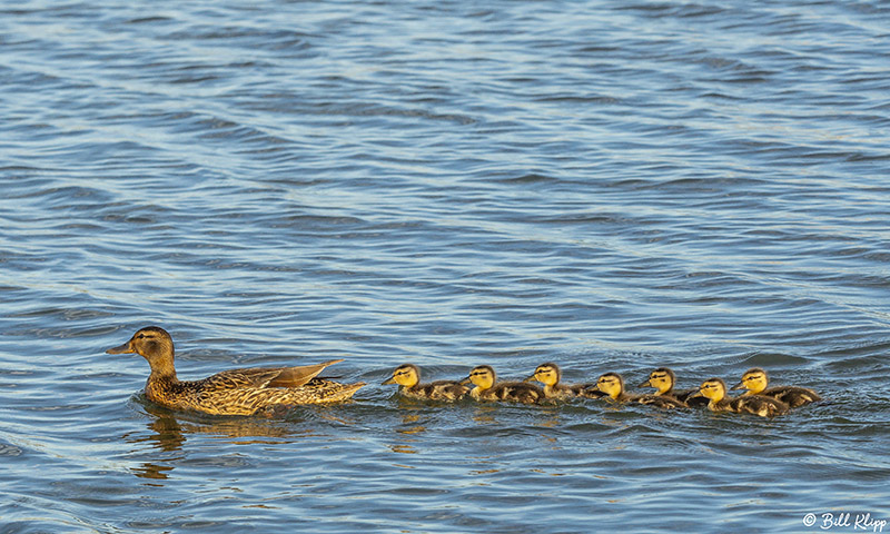 Mallard Ducks  53