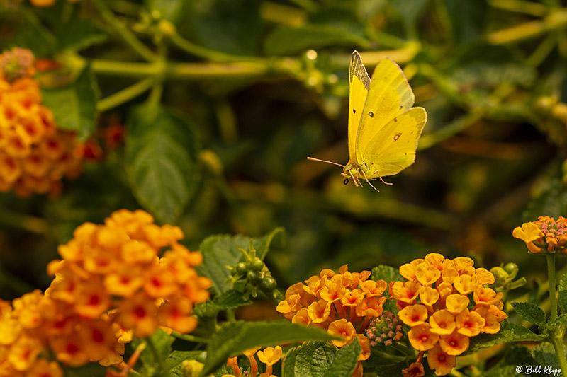Alfalfa Caterpillar Butterfly  6