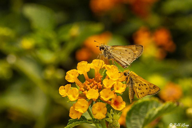 Alfalfa Caterpillar Butterfly  7