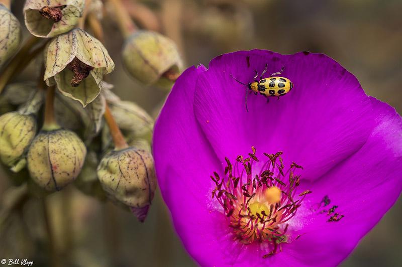 Lady Bug on Calandrinia  2