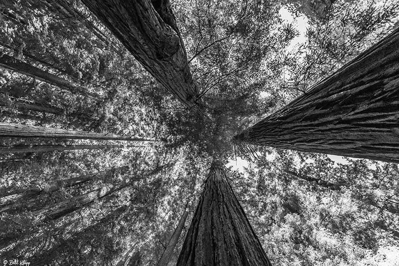 Redwood Trees, Smithe Grove  5
