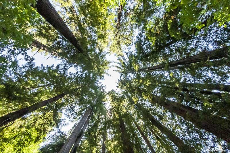 Redwood Trees, Smithe Grove  8