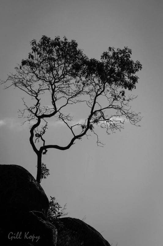 Sunshine Coast Tree