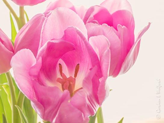 Pink Tulips DSCN46455