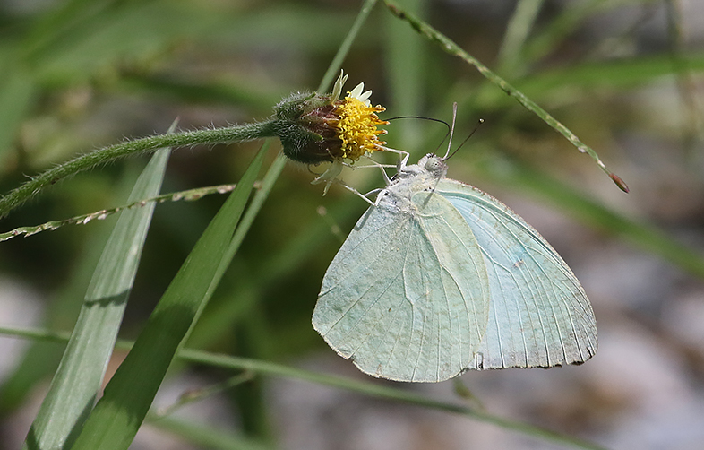 Mottled Emigrant Catopsilia pyranthe