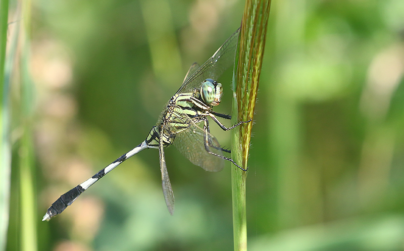 Green Marsh Hawk Orthetrum sabina