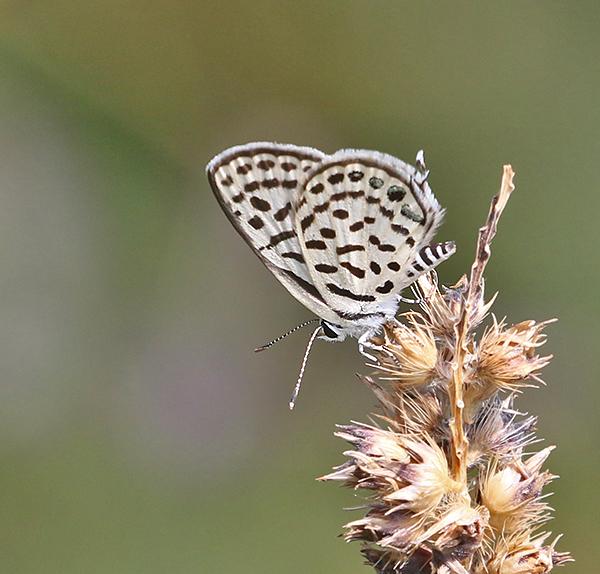 Spotted Pierrot Tarucus callinara