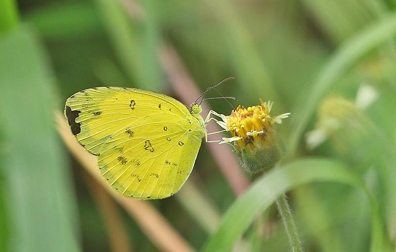 One-spot Grass Yellow Eurema andersoni