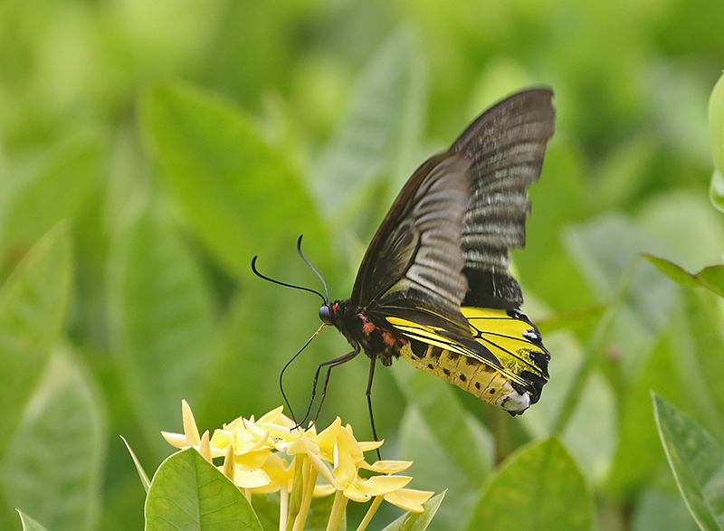 Golden Birdwing (Troides aeacus)