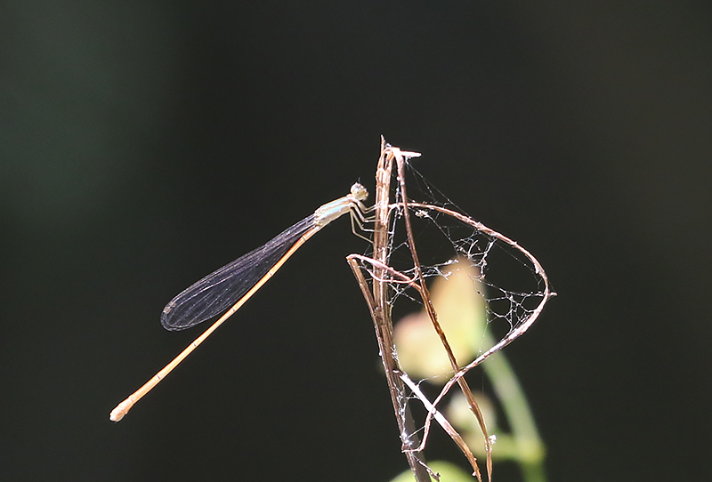 Aciagrion pallidum