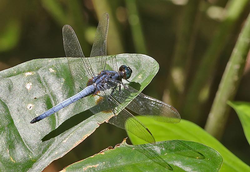 Blue Marsh Hawk Orthetrum glaucum