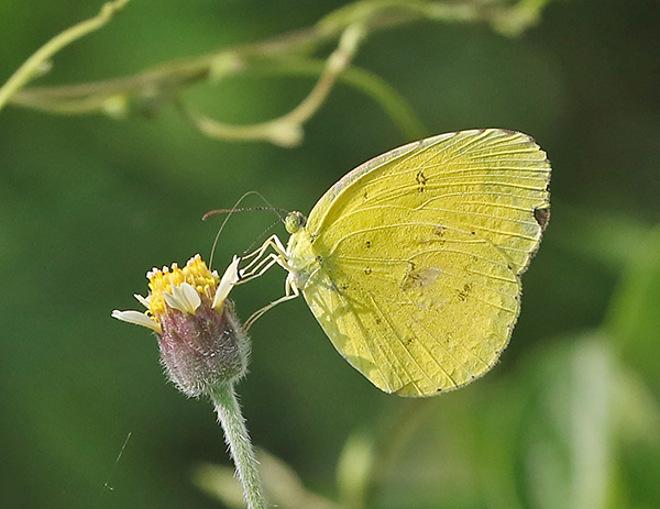 Common Grass Yellow Eurema hecabe