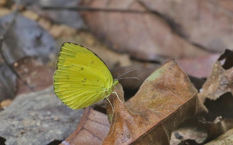 Common Grass Yellow (Eurema hecabe)