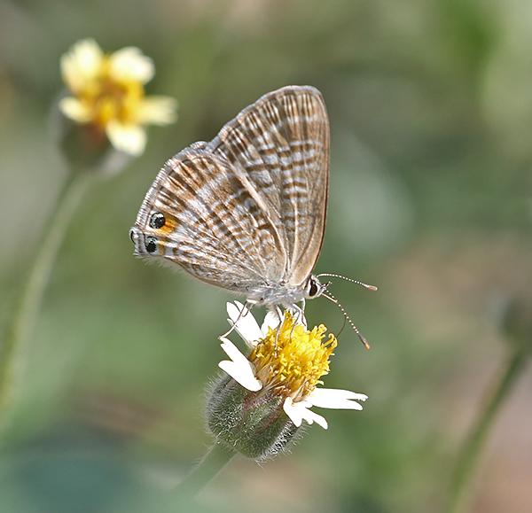 Pea Blue (Lampides boeticus)