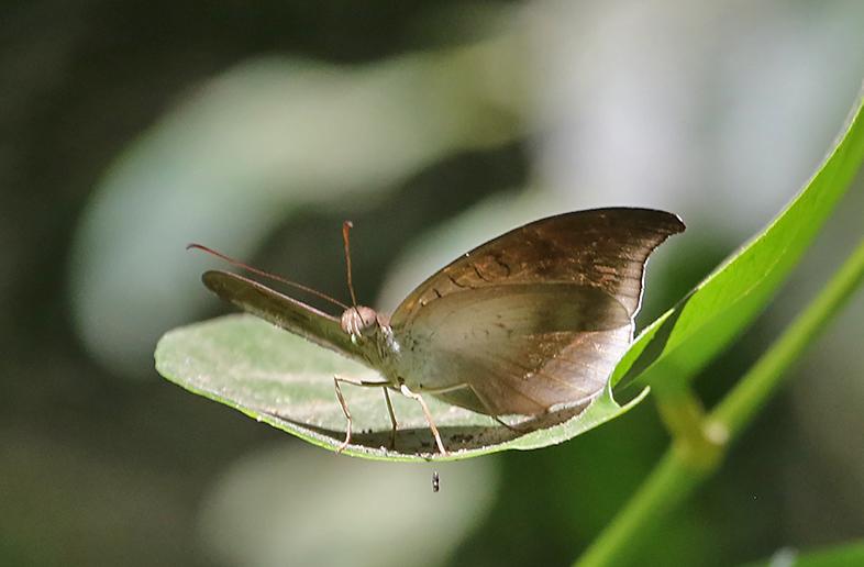 Grey Count (Tanaecia lepidea)