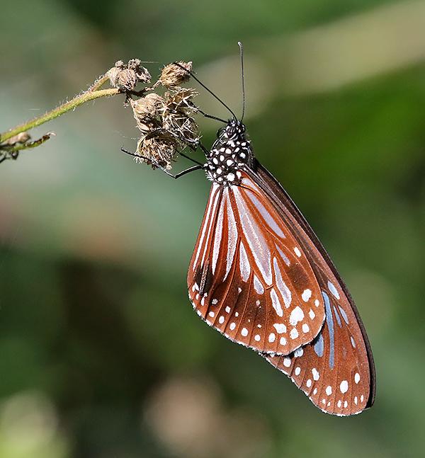 Chestnut Tiger Parantica sita