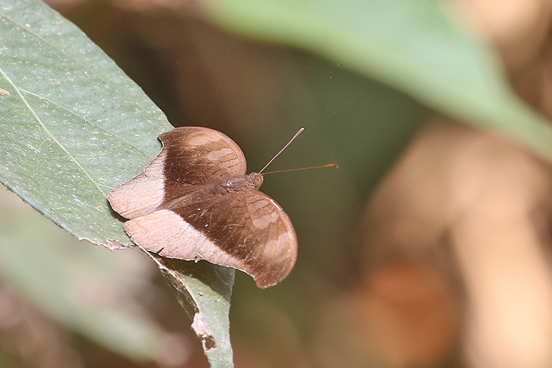 Grey Count (Tanaecia lepidea)