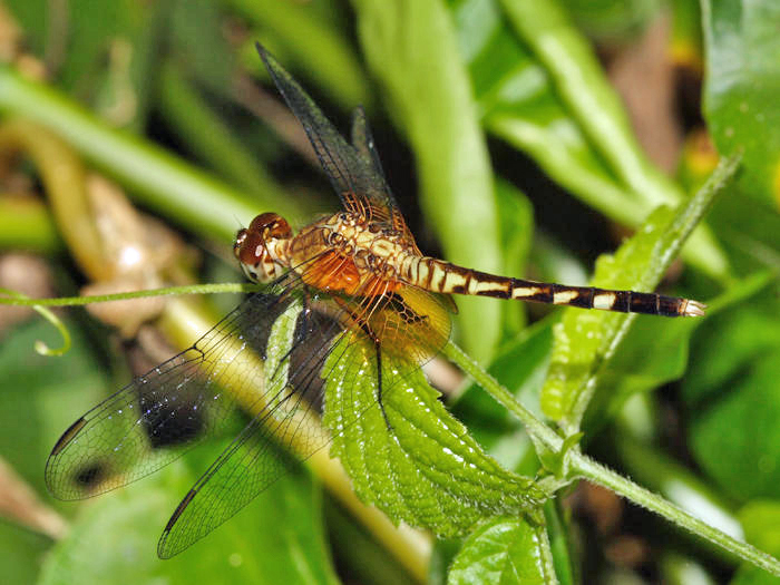 Erythrodiplax fervida (young male)