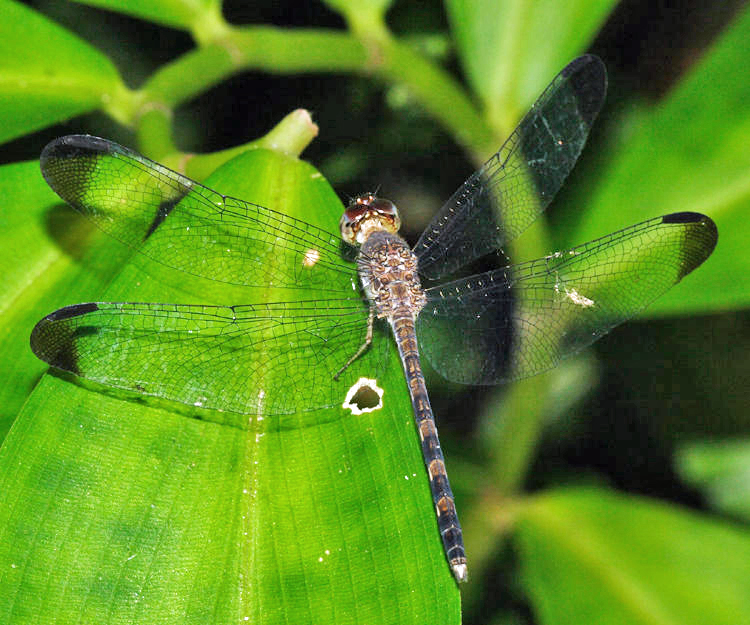 Uracis imbuta (young male)