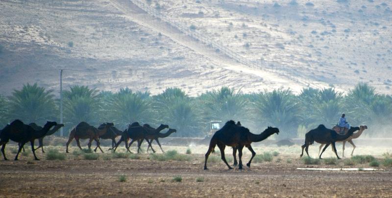Camel Herder in Al Ghat, Riyadh Region, Saudi Arabia 1788
