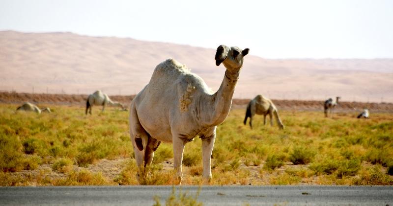 Camels in Al Ghat farm, Riyadh Region, Kingdom of Saudi Arabia 599