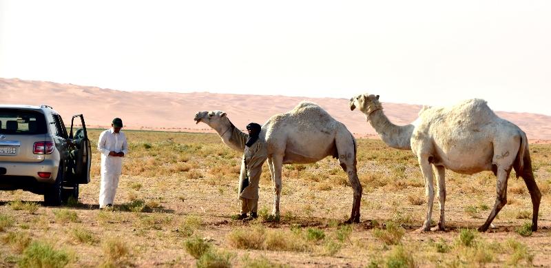 Camels in Al Ghat farm, Riyadh Region, Kingdom of Saudi Arabia 608