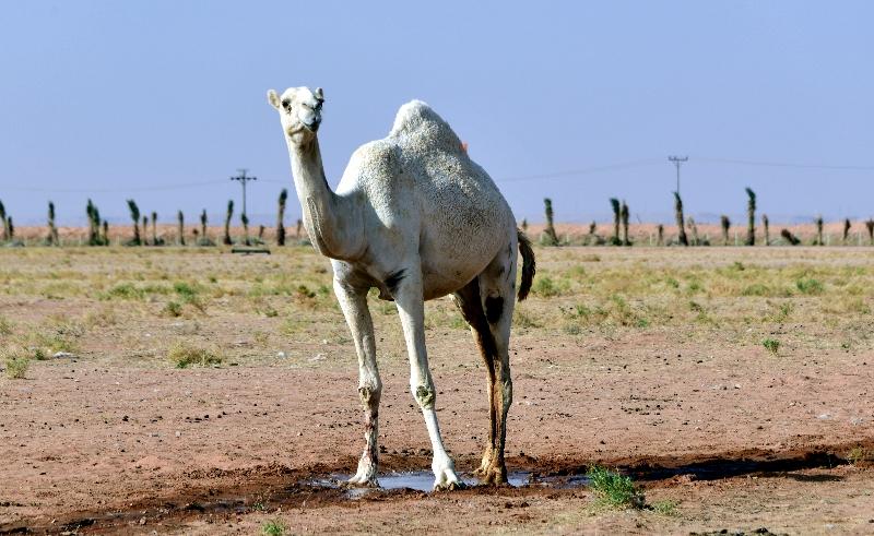 Camels in Al Ghat farm, Riyadh Region, Kingdom of Saudi Arabia 614