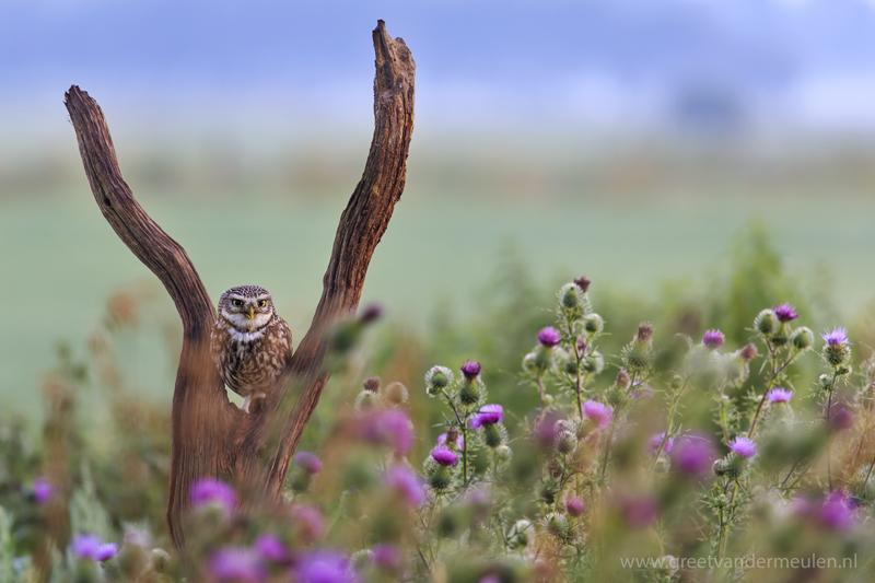 2N9B2268 little owl / steenuil