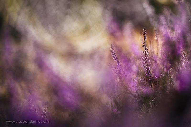 2N9B3766 2 blooming heather