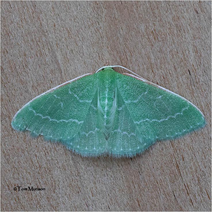 Synchlora aerata  Moth