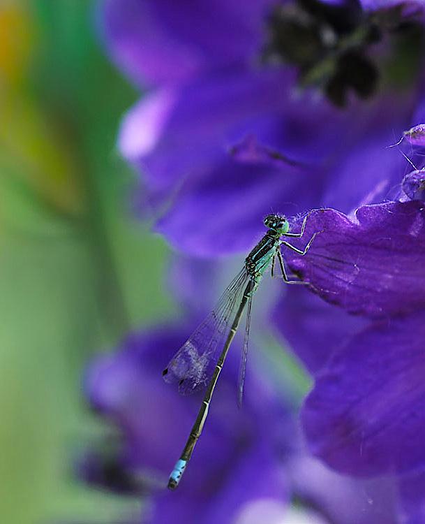 Damsel Fly on Larkspur