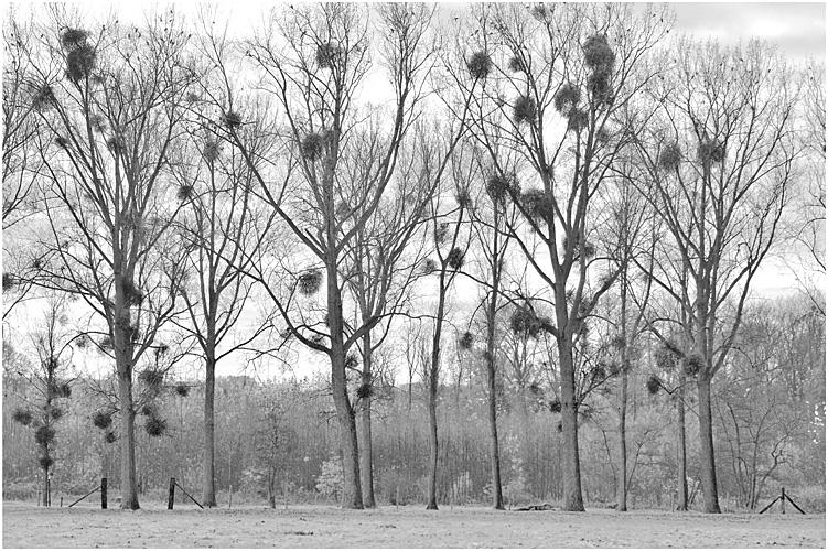 Meerbeek mistletoe