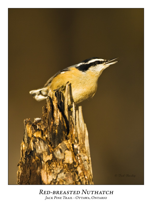 Red-breasted Nuthatch-001