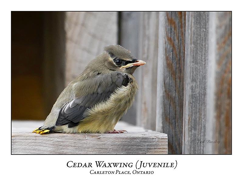 Cedar Waxwing-008