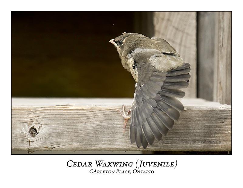 Cedar Waxwing-009